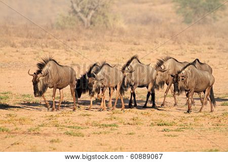 Blue wildebeest (Connochaetes taurinus) walking in dry riverbed, Kalahari desert, South Africa