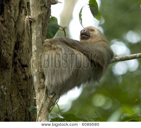 two toe male adult sloth sleeping in tree, costa rica