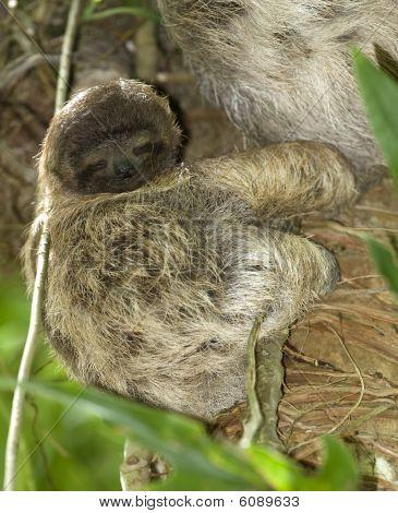 baby three toe sloth in tree, costa rica