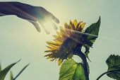 pic of sunflower  - Retro image of sunburst over a sunflower with a hand reaching forwards to touch it in a conceptual image of nature agriculture and natural beauty - JPG