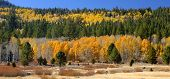 foto of brighten  - Aspens and evergreens brighten a fall day in Hope Valley California - JPG