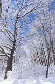 pic of blanket snow  - Marthaler Park forest under blanket of fresh snow and blue skies - JPG