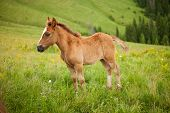 stock photo of mare foal  - young foal on greent meadow in mountains - JPG