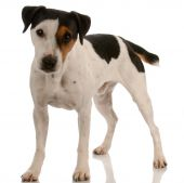 foto of jack russell terrier  - smooth coat tri - JPG