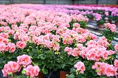 stock photo of geranium  - Greenhouse with colorful blooming geranium flowers indoors