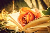 stock photo of rose  - open book with rose in the forest  - JPG