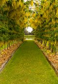 image of fountain grass  - Lawn grass pathway leads through a flowering laburnum arch with delicate yellow blossoms towards a fountain - JPG