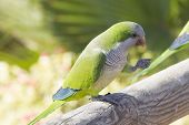 stock photo of parakeet  - Monk Parakeet  - JPG