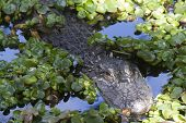 foto of alligator  - Alligator  - JPG