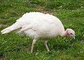 picture of turkey-hen  - White Turkey hen walking on a grass - JPG
