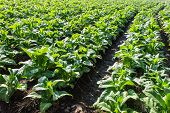 Tobacco Plants ,agriculture In Thai