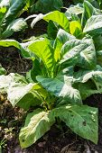 picture of tobacco barn  - Tobacco Plants  - JPG