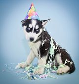 foto of husky  - A very cute Husky puppy wearing a Birthday hat with silly string all over him with a sweet look on his face - JPG
