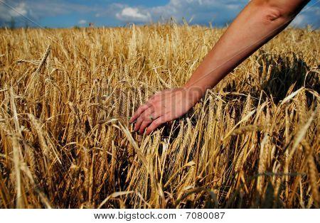 Barley And Hand