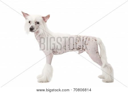 Hairless Chinese Crested Dog Over White