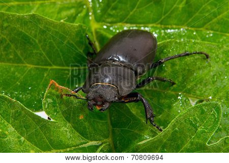 Closeup Of Common Stag Beetle Female