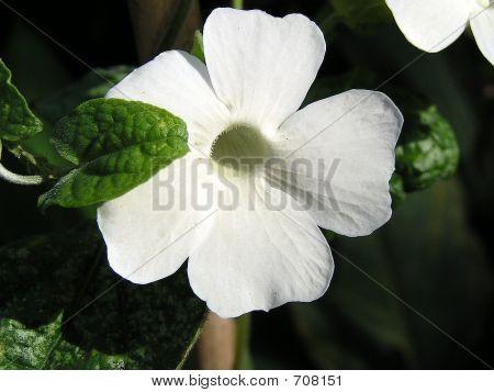White Thundbergia