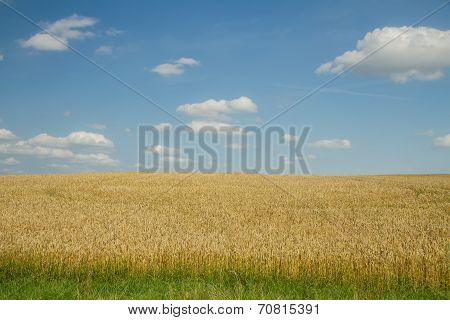 Golden Wheat In Summer