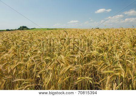 Nice Wheat