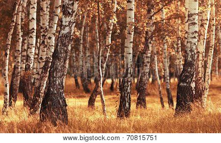 Birch Forest While Autumn Season