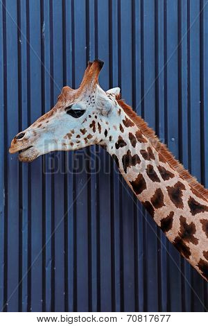 The head and neck of a Rothschild Giraffe