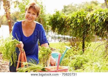 Senior Woman Working On Allotment And Picking Carrots
