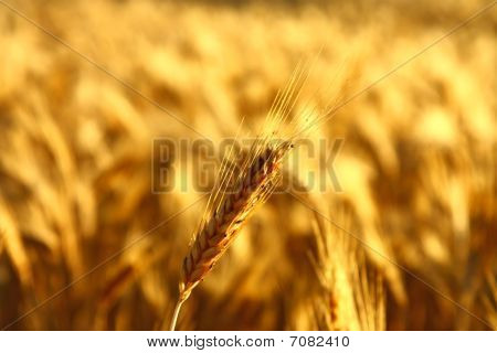 cereal spike in golden field