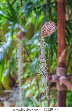 Spanish Moss In Coconut Shell