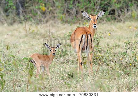 Baby Impala With His Mother