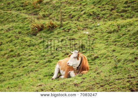 Cow Lying On Slope