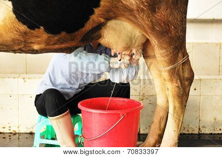 dairymaid hand milking with cow