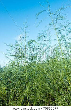 Asparagus Plants With Dewdrops From Close