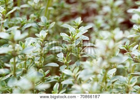 Background Of Fresh Thyme Growing In A Garden