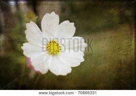 Cosmos Flower Grunge