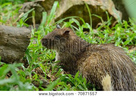 Male Asiatic Brush-tailed Porcupine (atherurus Macrourus)