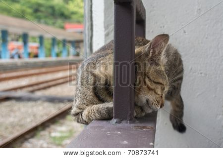 Tabby cat rely on the the iron railing to sleep in the cat village of Houtong, Taiwan.