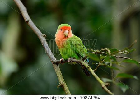 Rosy-faced Lovebird (agapornis Roseicollis)