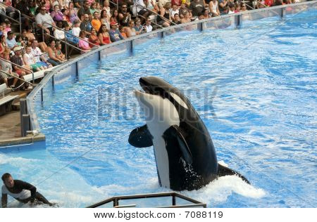 Orca At Sea World, Orlando