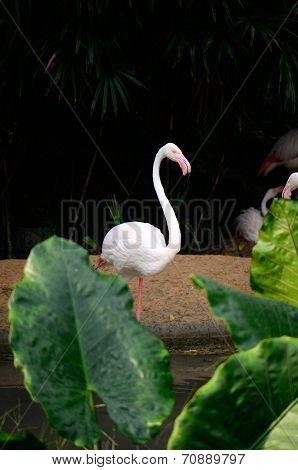 Greater Flamingo (phoenicopterus Roseus)