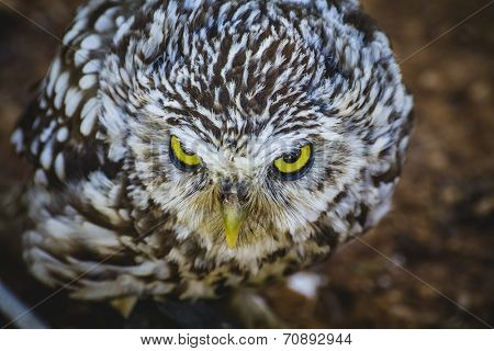 cute little owl, gray and yellow beak and white feathers