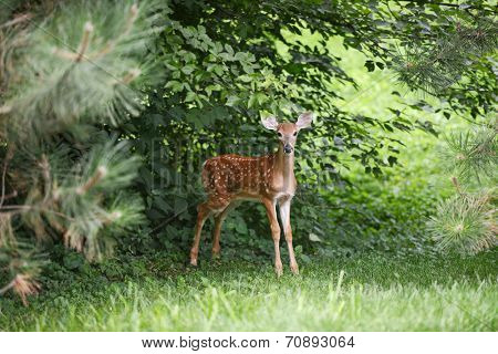 Baby Deer in the woods looking at the camera