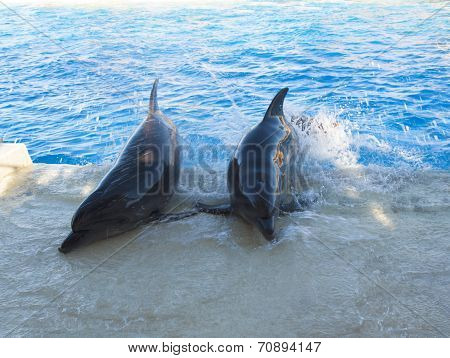 Dolphins In A Pool Photo