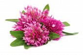 stock photo of red clover  - Red clover flower on white close up - JPG