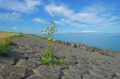 picture of dike  - Wildflower on a dike along a lake in summer - JPG
