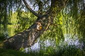 stock photo of weeping willow tree  - An old willow tree by the lake in the afternoon sunshine - JPG