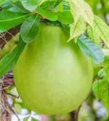 stock photo of calabash  - Calabash Tree and Fruit crescentia cujete is generally used to make a cup for serving or drinking - JPG