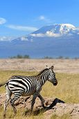 stock photo of kilimanjaro  - Zebra on the background of Mount Kilimanjaro in the national reserve - JPG