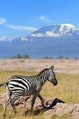 stock photo of kilimanjaro  - Zebra on the background of Mount Kilimanjaro in the national reserve - JPG