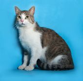 stock photo of blue tabby  - Tabby and white cat sitting on blue background - JPG