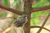 foto of bulbul  - Close up on a bulbul chick on branches tree  - JPG